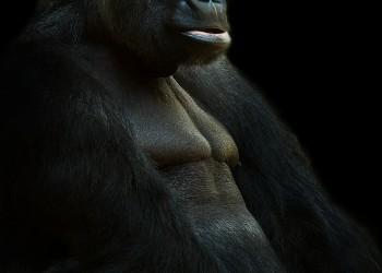 gorilla-625286_1280